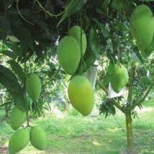 kho lanh bao quan rau qua1 300x300 - Kho lạnh bảo quản rau quả – bảo quản sầu riêng và xoài